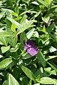 Vinca minor Rubra Botanicki vrt PMF 080509.jpg