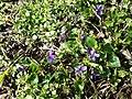 Viola alba subsp. violacea sl14.jpg