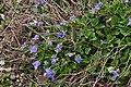 Viola riviniana in Jardin Botanique de l'Aubrac 01.jpg