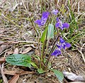 Viola sagittata.jpg