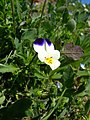 Viola tricolor flower.JPG