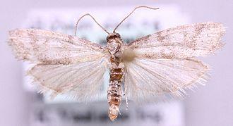 Vitula biviella - Image: Vitula biviella