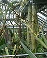 Vriesea tuerckheimii BotGardBln07122011J.jpg