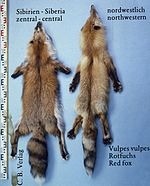 Vulpes vulpes (Sibiria & northwestern)
