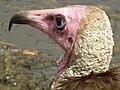 Vulture in Tanzania 3112 cropped Nevit.jpg
