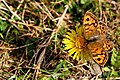 Wall Butterfly - Cornwall (14936167024).jpg
