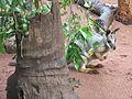 Wallaby behind tree.jpg