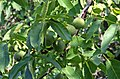 Walnuss-frucht001.jpg