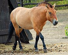 Przewalski Pferd Wikipedia
