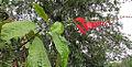 Warszewiczia coccinea, the Wild Poinsettia. (9406929528).jpg