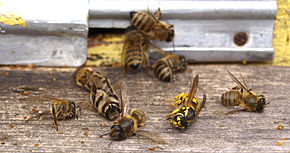 Willing to die for their sisters: worker honey bees killed defending their hive against yellowjackets, along with a dead yellowjacket. Such altruistic behaviour may be favoured by the haplodiploid sex determination system of bees. Wasp attack.jpg