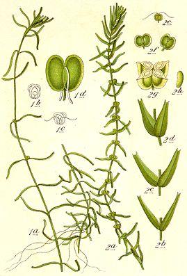 Wassersterne (Callitriche), 1 = C. hamulata, 2 = C. hermaphroditica