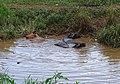 Water buffaloes near Nyaung Shwe.jpg