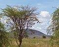 Weaver bird nests (48061176431).jpg