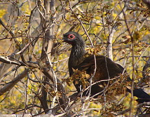 Chamela-Cuixmala Biosphere Reserve - West Mexican Chachalaca, a Pacific Slope endemic, roosting in the forest canopy