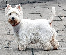 A small completely white terrier with standing up ears turns to face the camera. It has a shaggy coat, and its tail is raised.