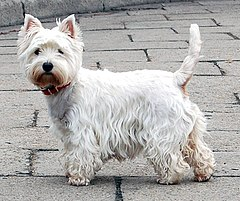 West Highland White Terrier Krakow.jpg
