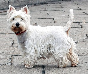 West Highland White Terrier - Image: West Highland White Terrier Krakow