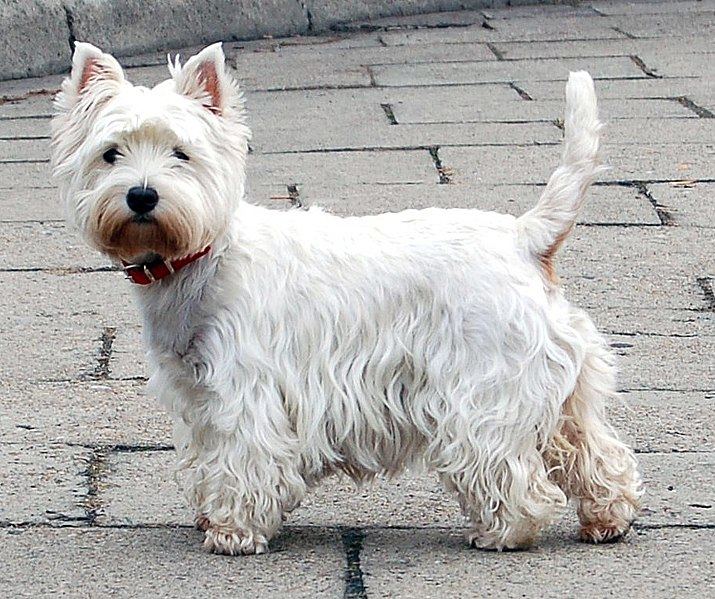 March dog breed of the month west highland white terrier topic - Pictures of westie dogs ...