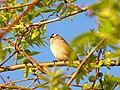 White-crowned sparrow (5799906286).jpg