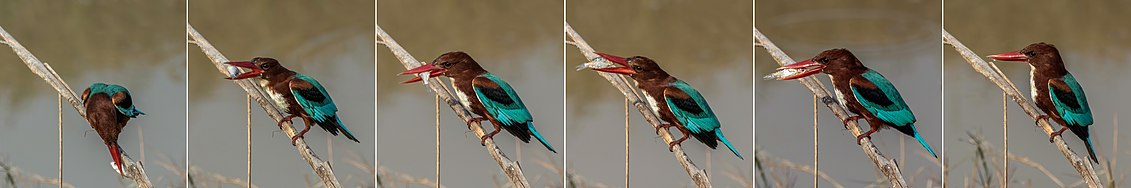 White-throated kingfisher (Halcyon smyrnensis fusca) composite