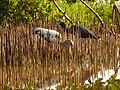 White Ibis ^ Little Blue Heron - Flickr - treegrow.jpg
