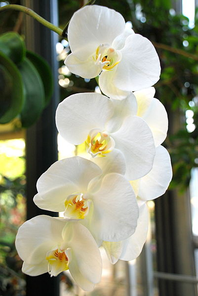 File:White Orchids.JPG
