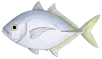 Whitefin trevally
