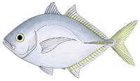 Whitefin trevally