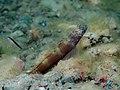 Wide band shrimpgoby (Amblyeleotris latifasciata) (32338840851).jpg