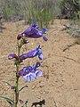 Wildflowers, fort rock (801862767).jpg