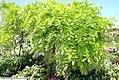 Wisteria floribunda Macrobotrys 1zz.jpg