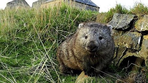 Wombat from Adelade.jpg