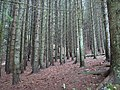 Woods of lac des Confins.jpg