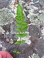Woodsia ilvensis 1-jgreenlee (5097440147).jpg