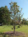 Wzwz tree 08a Davidia involucrata var. vilmoriniana.jpg