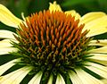 Yellow-Cone-Flower-Macro - West Virginia - ForestWander.jpg