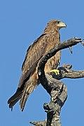 Yellow-billed kite (Milvus aegyptius) juvenile.jpg