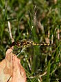 Yellow Dragonfly 1 (7974394360).jpg