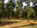 Yellow Shades on the Trees near Jamuna Colliery, Anuppur, India. - panoramio.jpg