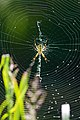 Yellow garden spider (36205801916).jpg