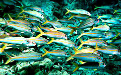 Yellowfin goatfish.jpg