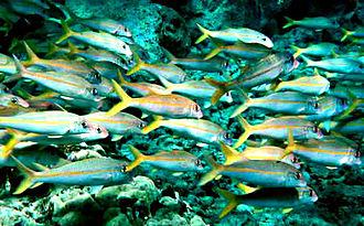 Goatfish - Yellowfin goatfish