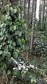 Yercaud Coffee & Pepper cultivation.jpg