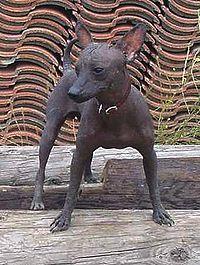 hund uden pels