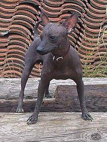 Xoloitzcuintle Wikipedia La Enciclopedia Libre