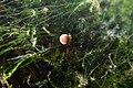 Young Aquatic fungus champignonAquatique à lamelles Moyenne-Deûle mai 2015 F.Lamiot 14.jpg
