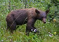 Young Black Bear (19434743519).jpg