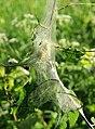 Yponomeuta evonymella Oulu 20140629 01.JPG