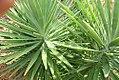 Yucca brevifolia 15zz.jpg